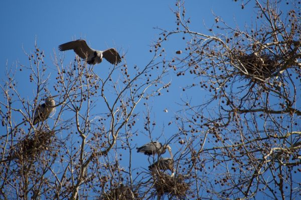 Blue Herons Nest at Cuyahoga Valley National Park